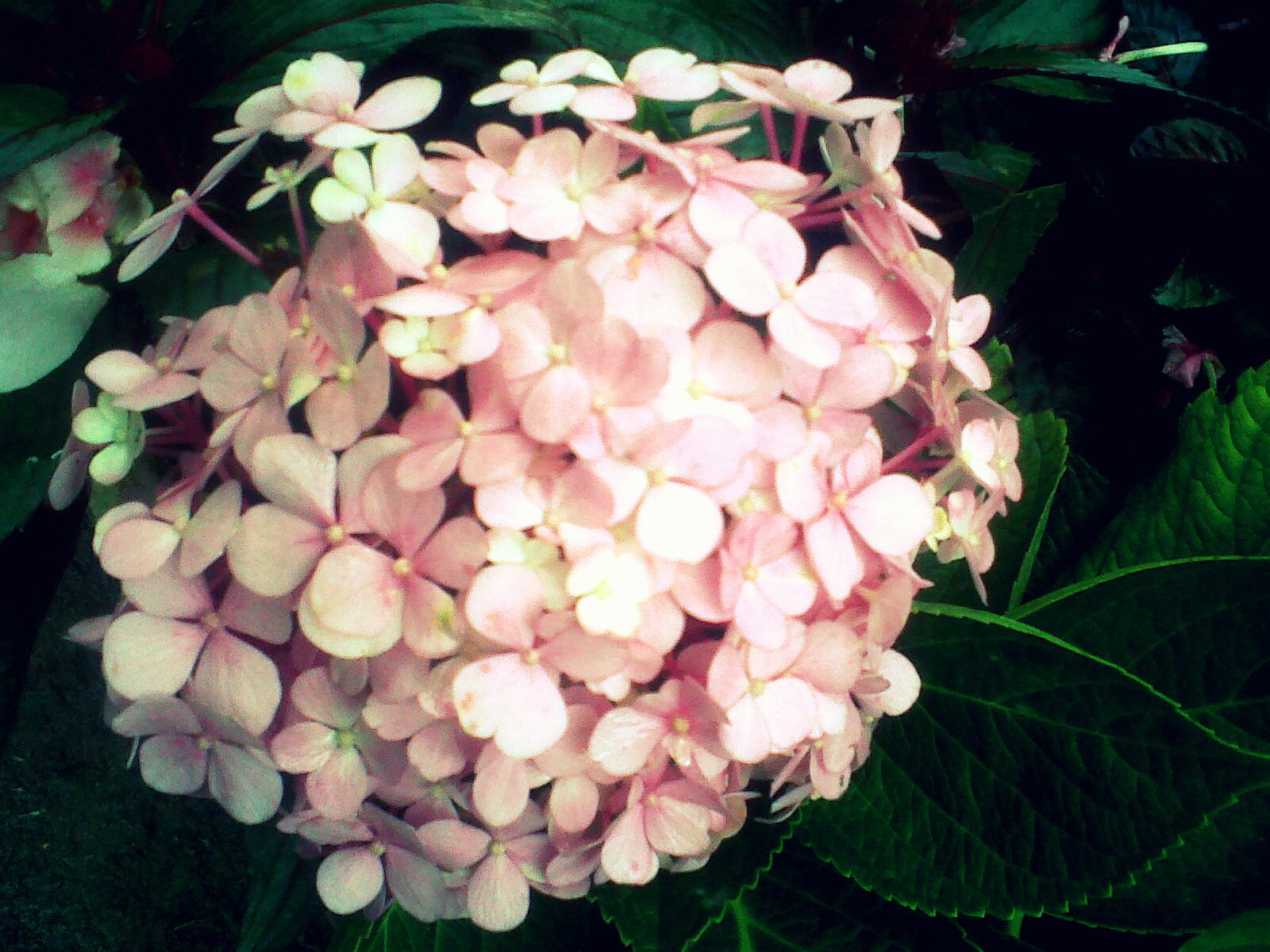Ramo rosado - MB Frias