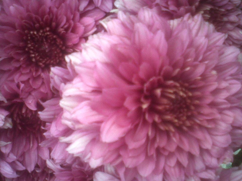flores rosadas MB