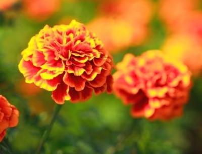 flores-de-otoño