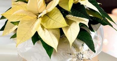 centro-de-mesa-con-una-flor-de-pascua-amarilla_ampliacion