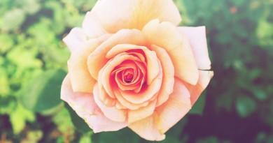 rose-690331_960_720