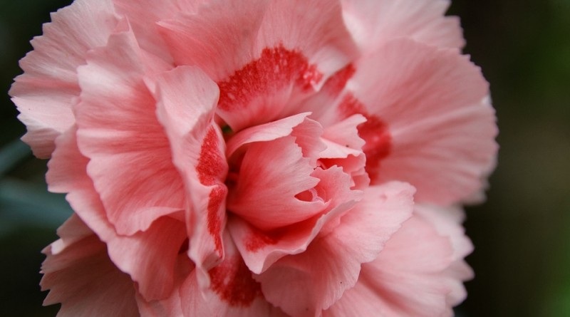 carnation-833383_960_720