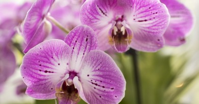 purple-moth-orchids-1340673_960_720