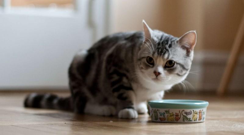 gato-comiendo-