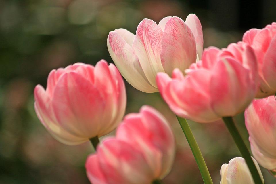 flores-rosadas-tilipanes