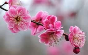 flor-del-cerezo