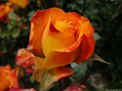 rosa valentin 3