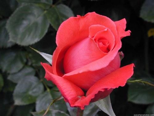 rosa valentin 6