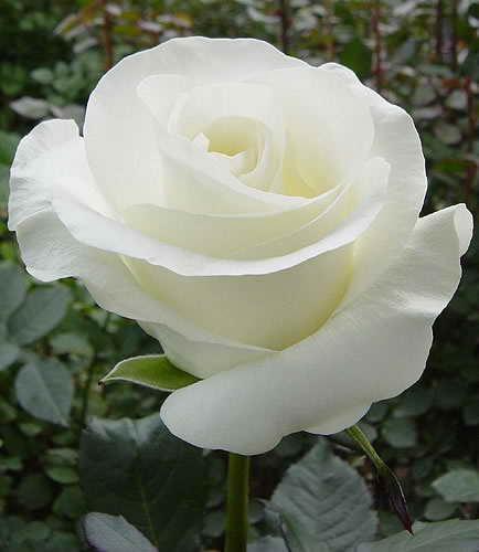 rosa valentin 7