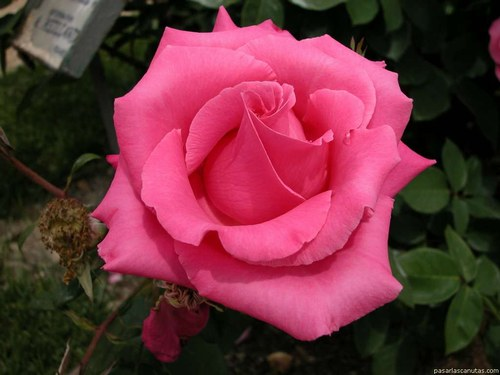 rosa valentin 8