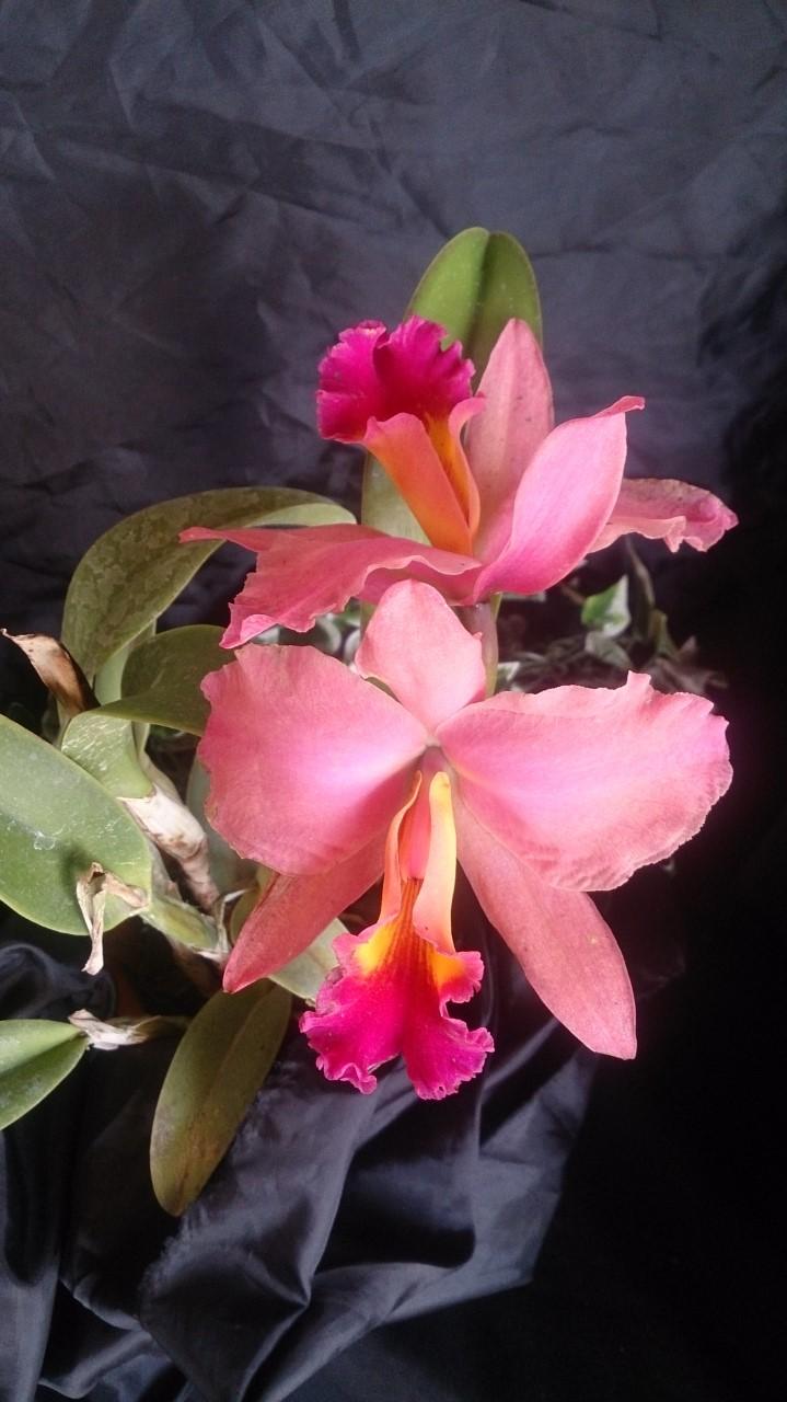 La XI Exposición Nacional de Orquídeas de FUNCOR  se dará en el BOD