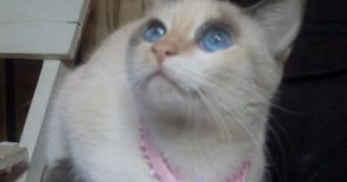 Sabrina Blue, gata, cat, pet, cute, siames