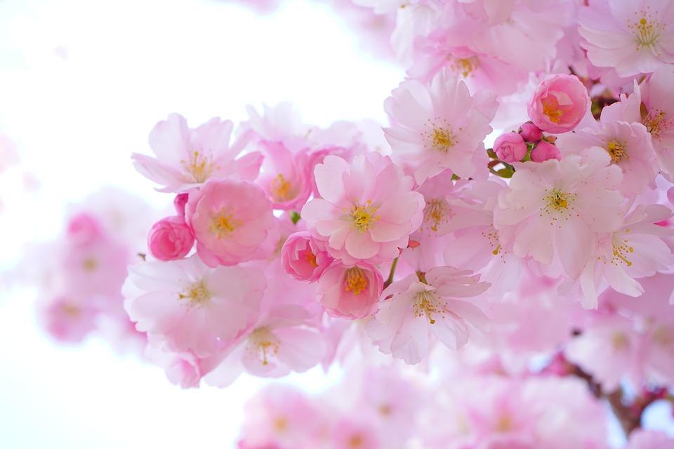 japanese-cherry-trees-324175_960_720