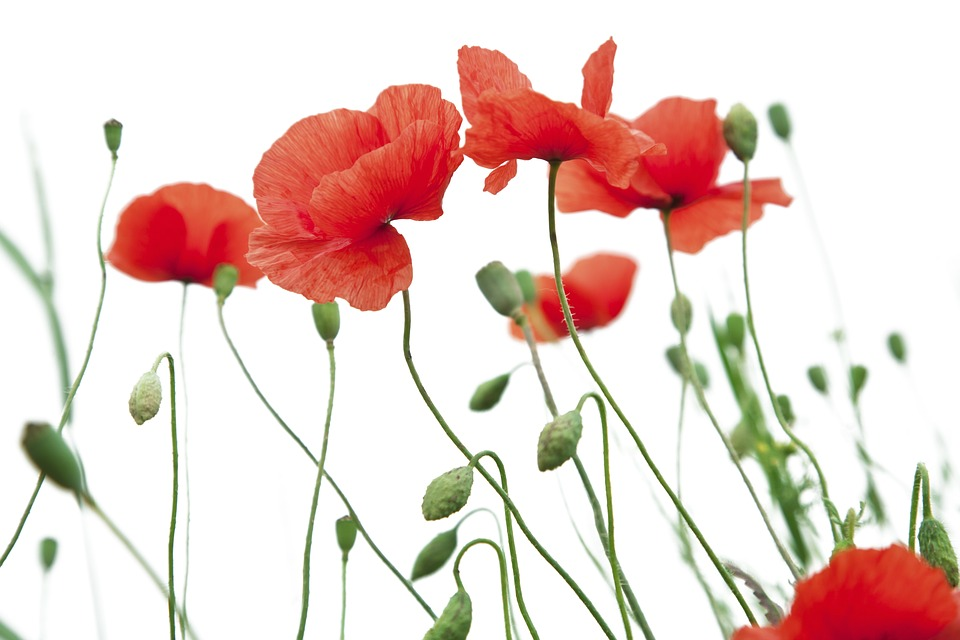 poppy-flower-1606077_960_720