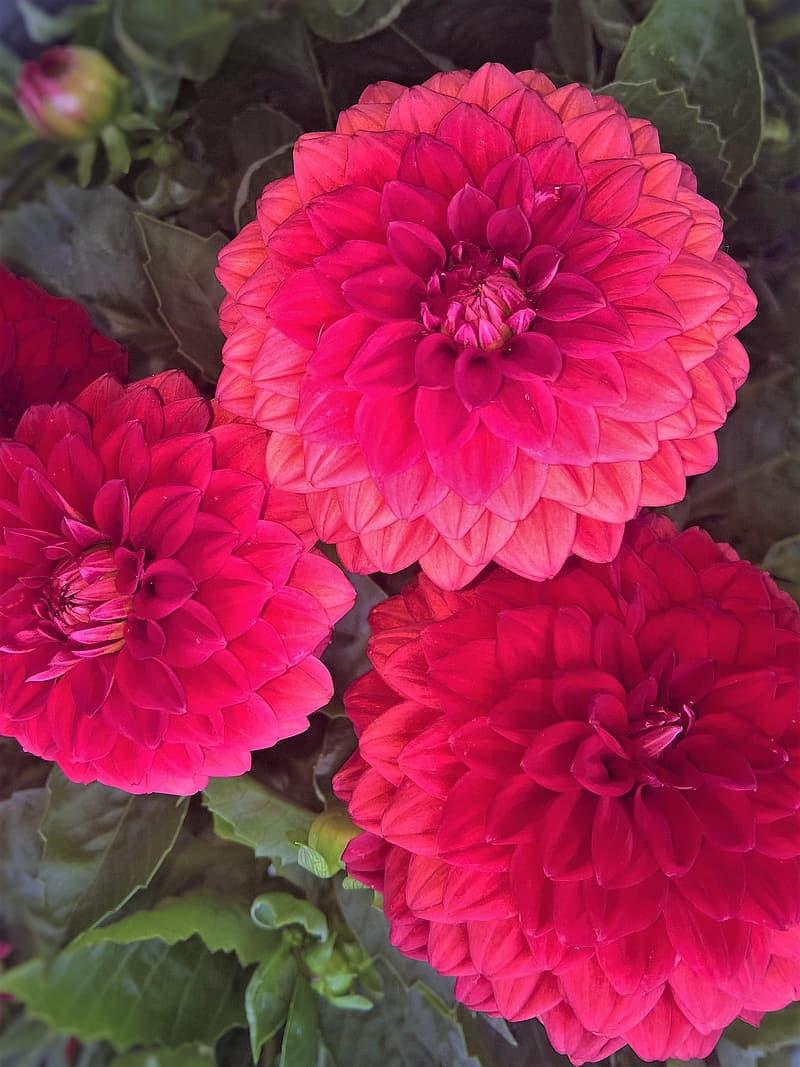 Dalias, esas bellas flores tan mexicanas