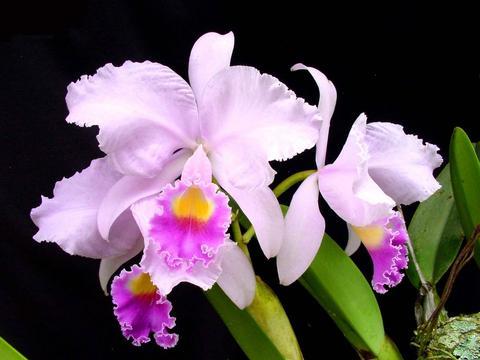 """Se inaugura en Caracas """"XII Exposición de Orquídeas de FUNCOR"""""""