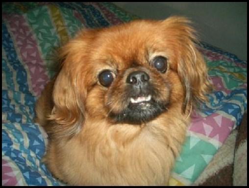 Pekinés, perro fiel y sensacional!