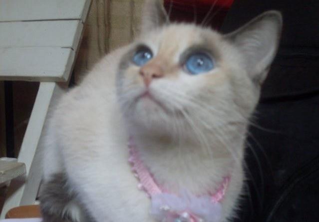 Lo elegantísimos gatos siaméses, siempre chic y preciosos