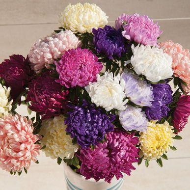 Aster, la romántica flor de sepriembre